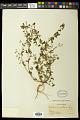 View Euphorbia hyssopifolia L. digital asset number 0