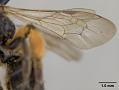 View Andrena (Gymnandrena) seviensis digital asset number 4