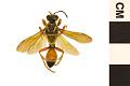 View Great Golden Digger Wasp digital asset number 0