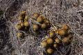 View Mammillaria nivosa Link ex Pfeiff. digital asset number 0