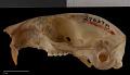 View Tamiasciurus hudsonicus fremonti digital asset number 7