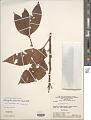 View Allophylus glabratus (Kunth) Radlk. digital asset number 1