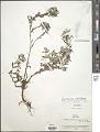 View Caesarea albiflora Cambess. digital asset number 1