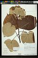 View Hibiscus tiliaceus L. digital asset number 0