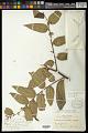 View Trema micrantha (L.) Blume digital asset number 0