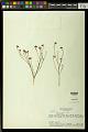 View Polygala longicaulis Kunth digital asset number 0