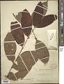 View Eugenia memecyloides Benth. digital asset number 1