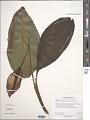 View Spathiphyllum cannifolium (Dryand. ex Sims) Schott digital asset number 1