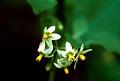 View Solanum americanum Mill. digital asset number 0