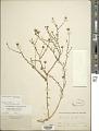 View Machaeranthera coulteri (A. Gray) B.L. Turner & D.B. Horne digital asset number 1