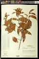 View Banisteriopsis pubipetala (A. Juss.) Cuatrec. digital asset number 0
