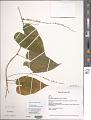 View Dioscorea cordata (L.) Raz digital asset number 1