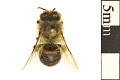 View Polyester Bee, Cellophane Bee, Plasterer Bee digital asset number 0