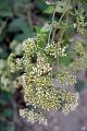 View Mikania cordifolia (L. f.) Willd. digital asset number 1