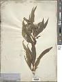 View Helianthus grosseserratus M. Martens digital asset number 1
