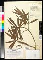 View Podocarpus affinis Seem. digital asset number 0