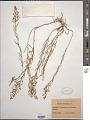 View Thesium linophyllum L. digital asset number 1