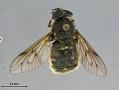 View Hybomitra stigmoptera fuji digital asset number 1