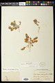 View Euphorbia indivisa (Engelm.) Tidestr. digital asset number 0