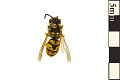 View German Wasp digital asset number 0