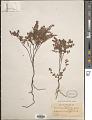 View Euphorbia garberi Engelm. ex Chapm. digital asset number 1
