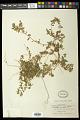 View Euphorbia maculata L. digital asset number 0