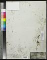 View Linum africanum L. digital asset number 0