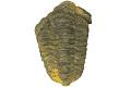View Trilobite digital asset number 2