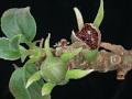 View Alsobia punctata (Lindl.) Hanst. digital asset number 8