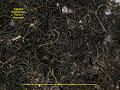 View Ephebe brasiliensis (Vain.) Henssen digital asset number 2