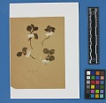 View Botanical Specimens From Quileute Indians digital asset number 31