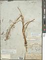 View Toxicoscordion paniculatum (Nutt.) Rydb. digital asset number 1