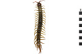View Giant Redheaded Centipede digital asset number 0