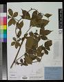 View Rubus alpestris Blume digital asset number 0