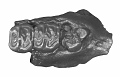 View Aulolithomys bounites Black, 1965 digital asset number 1