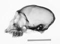 View Cercopithecus cephus digital asset number 0