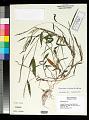 View Microstegium vimineum (Trin.) A. Camus digital asset number 0