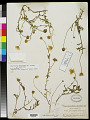 View Aphanostephus skirrhobasis (DC.) Trel. ex Coville & Branner digital asset number 0