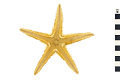 View Two-spined Starfish digital asset number 0