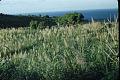 View Saccharum officinarum L. digital asset number 1