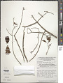 View Heteropterys rubiginosa A. Juss. digital asset number 1