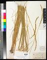 View Leymus triticoides (Buckley) Pilg. digital asset number 0