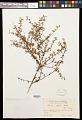 View Turnera diffusa Willd. ex Schult. digital asset number 0