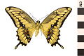 View King Swallowtail digital asset number 1