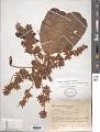 View Sterculia speciosa K. Schum. digital asset number 1