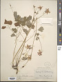 View Aquilegia formosa var. truncata M.E. Jones digital asset number 1