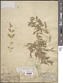 View Silene menziesii subsp. dorrii (Kellogg) C.L. Hitchc. & Maguire digital asset number 1