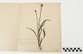 View Mounted plant specimen digital asset number 0