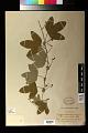 View Passiflora kermesina Link & Otto digital asset number 1