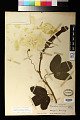 View Passiflora mollissima (H.B.K.) L.H. Bailey digital asset number 1
